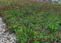 Local plant species on a greenroof with pea stones around the edges