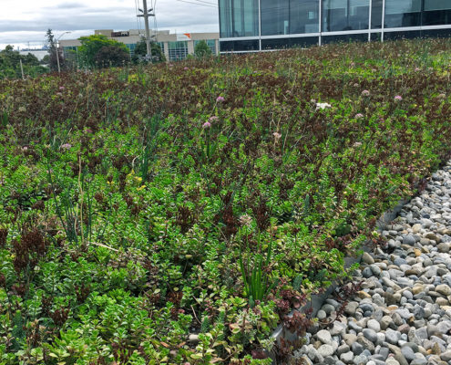 Local plant species on green roof looking back towards the office building's glass windows