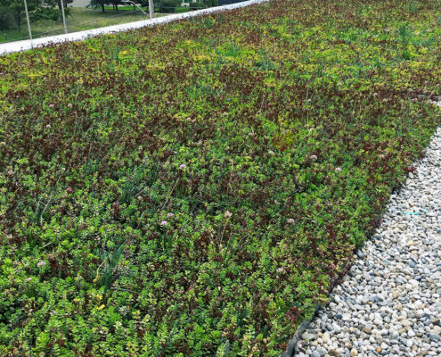 Local plant species on a greenroof surrounded by pea stone