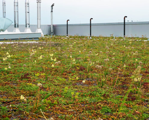 Native plant species on a green roof at King Street East