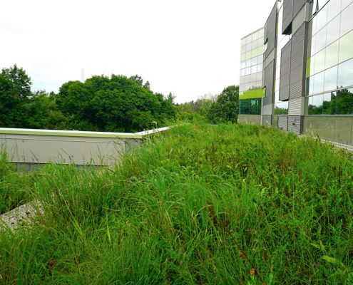 Perennial plants on the green roof at the Environment building at the University of Waterloo