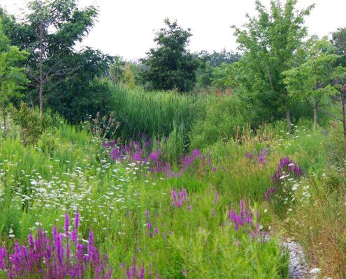Fully grown bioswale at Sixteen Mile Creek