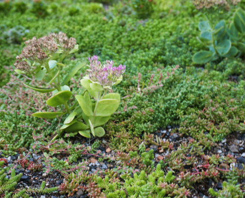 small native plant species on a green roof in Toronto