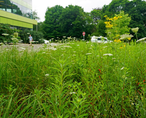 Native vegetation in a constructed wetland near the Environment building at the University of Waterloo