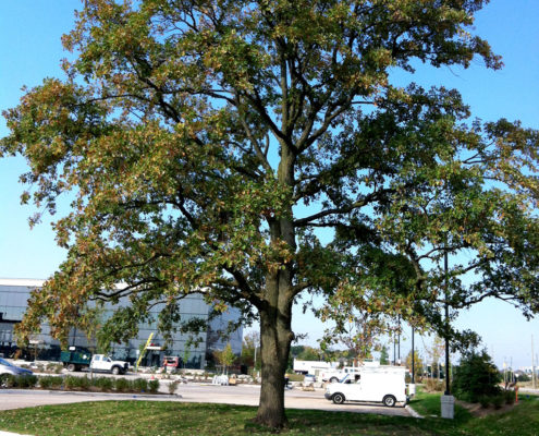 Existing tree preserved during construction sits in a median at Harvest Bible Chapel