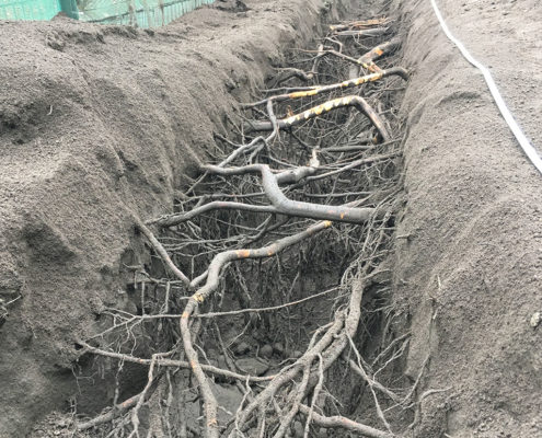 Exposed roots from trees in a 2 foot trench for a root investigation