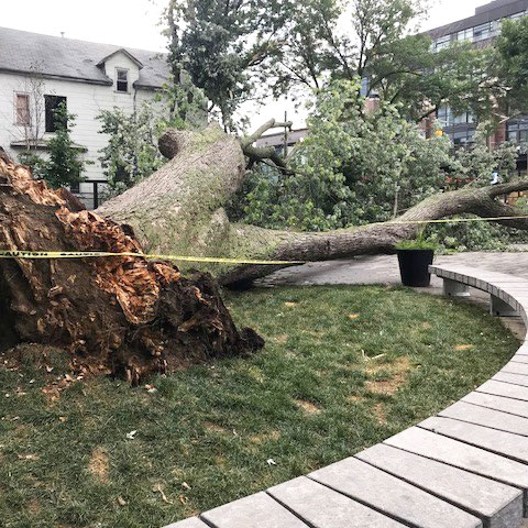 Large old growth tree fallen in an amenity space between buildings
