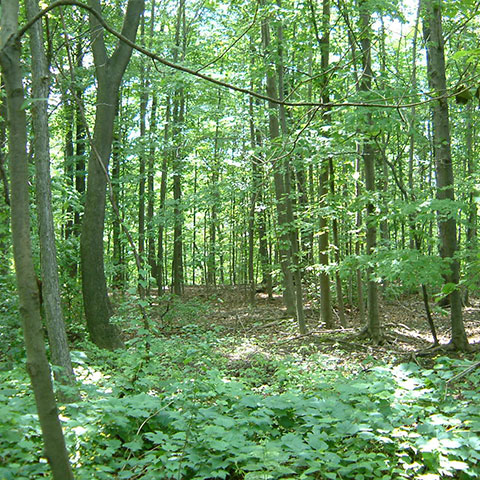 Forest growth in a ravine with lush green leaves